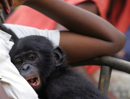 Bonobo_GT